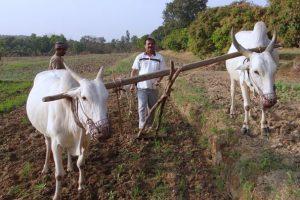 牛を使った農作業