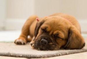 眠っている犬
