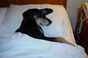 ベットで寝る犬