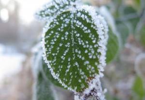 冬のバッテリーにとって厳しい環境の凍り付いた葉っぱ