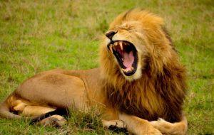 あくびをするオスライオン