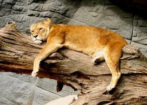 満腹で昼寝するライオン