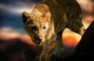 獲物を見つめるライオン
